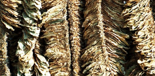 800px-Basma-tobacco-drying